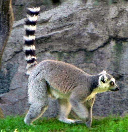 Ring Tailed Lemur Know Them Through Poems