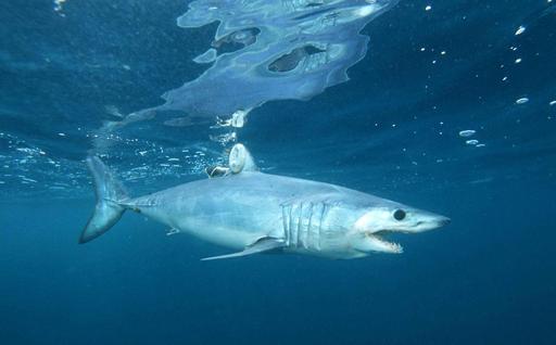 Mako Shark Attacks
