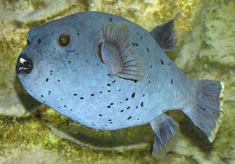 Blowfish Puffer Fish