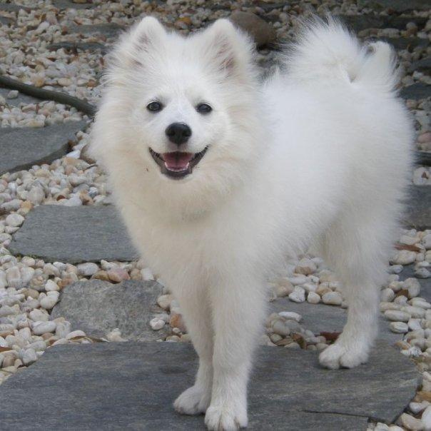 american_eskimo_dog_2